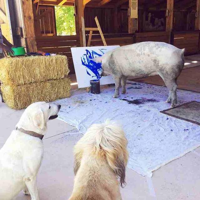 Có rất nhiều hàng xóm ngưỡng mộ tài năng của Pigcasso. Ảnh: Caters News Agency