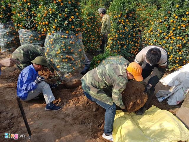 Những người thợ đào quất cảnh ở Văn Giang thường được trả công 300.000-400.000 đồng/ngày và được bao ăn, ở. Ảnh: Hiếu Công.