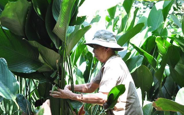 Ông Võ Kim Phượng, 77 tuổi tự mình chặt lá dong kịp bán cho khách. Ảnh: Ngọc An.