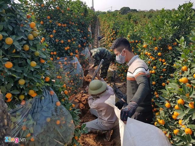 Nhu cầu đào và vận chuyển cây ở Văn Giang rất lớn vì đây là vựa quất kiểng cung ứng cho thị trường Tết. Ảnh: Hiếu Công.