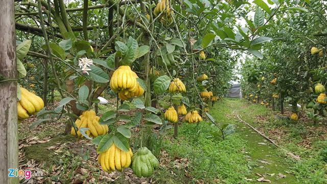 Thời tiết không ủng hộ nhưng năm nay các nhà vườn đều cho biết giá loại quả này không tăng. Ảnh: Thuỷ Tiên.