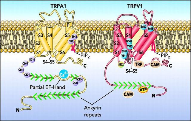 Cấu trúc phân tử 2 chất TRPA1 và TRPV1