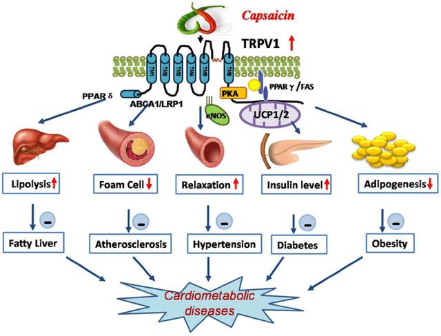 Tác động qua lại của chất capsaicin trong ớt cay và thụ thể TRPV1