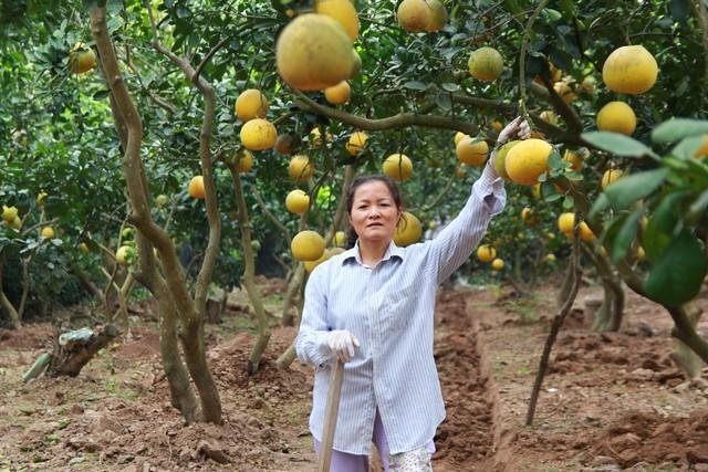 Vườn bưởi sai trĩu quả của gia đình bà Thanh Hương tại Văn Trì, Minh Khai. Ảnh:K.O