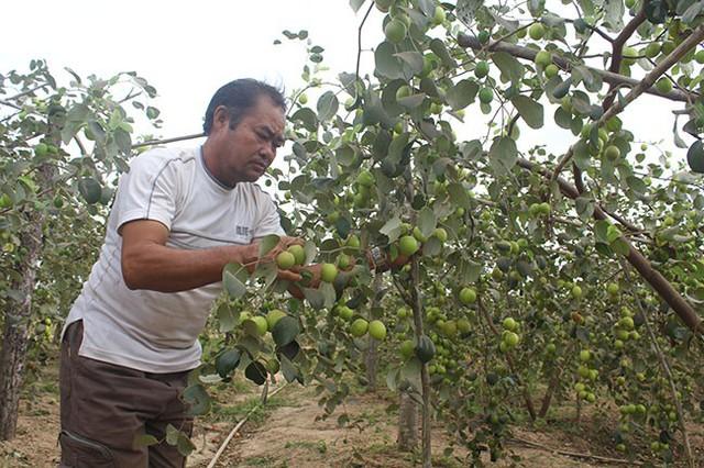Ông Dương Đức Châm bên vườn táo Đài Loan trĩu quả của gia đình.