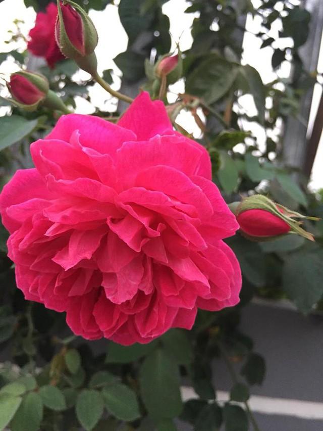 Tuy vườn hồng mới được chị trồng được 2 năm nhưng những bụi hồng bung nở rực rỡ, đẹp đến mê mẩn, phát hờn. Chia sẻ trên các trang mạng xã hội, vườn hồng của chị Ánh Quyên nhận được rất nhiều lời khen, ngưỡng mộ và gây thương nhớ cho hàng ngàn chị em yêu hoa.