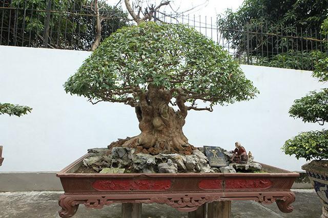 Cây bằng lăng cổ thụ hình nấm trị giá 2 tỷ đồng của đại gia Phú Thọ