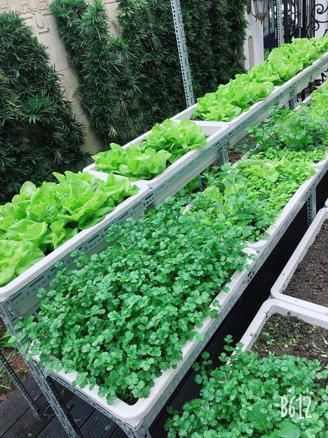 Vườn rau có nhiều loại rau theo mùa như cải, xà lách, rau mùi, cải cúc, dền... rau nào cũng rất xanh tốt. Các khay rau được đặt lên giá sắt 3 tầng sạch sẽ, tiết kiệm diện tích và có cả mái che.