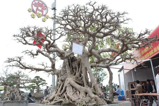 Điều đặc biệt, các cây đều có thân, bệ u bướu, tay cành uyển chuyển và các dăm cành đối xứng, đẹp mắt.