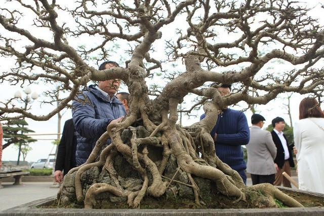 Bộ rễ ôm trọn phiến đá cổ