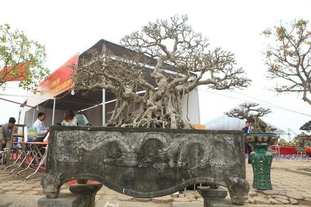 Các cây sanh đều được trồng trên các bệ cổ làm tôn thêm nét u bướu, vẻ cổ kính cho cây