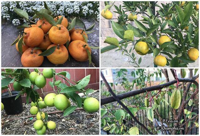 Mới trồng cây ăn trái nhưng táo, khế, cam, quýt đã cho ra quả.