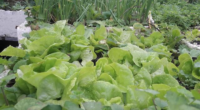 """""""Nhà mình trồng rau trên sân thượng cách đây gần 10 năm. Ban đầu cũng xuất phát từ việc mong muốn chăm lo cho sức khỏe của mọi người trong gia đình. Lúc đầu cũng chỉ trồng để thêm vào bữa ăn, mấy năm nay hầu như không phải mua rau ngoài chợ. Mùa nào thức nấy, đủ các loại rau xanh"""", Chị Quế chia sẻ."""