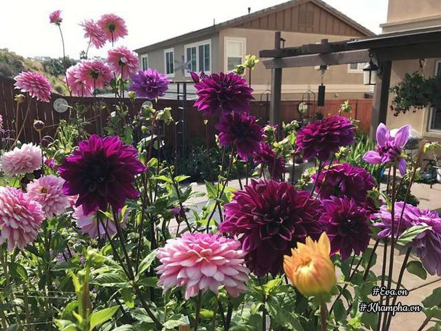 Khu vườn nhà chị quanh năm có hoa nhờ những loại cây ngắn ngày.