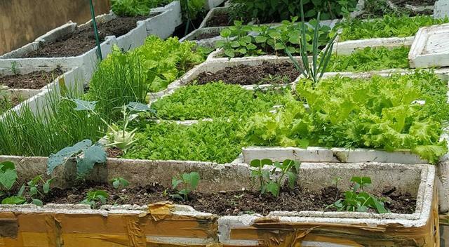 Để vườn rau luôn tươi tốt, hạn chế sâu bệnh, chị thường làm đất rất kỹ. Theo chị đây là khâu rất quan trọng. Chị trộn kỹ đất với vỏ trấu hun, một ít vôi bột để sát trùng đất, phân trùn quế. Sau mỗi vụ rau, chị thường làm lại đất cho tơi xốp. Đồng thời để đất nghỉ ngơi một thời gian ngắn, sau đó chị bón thêm phân và cải tạo lại đất.