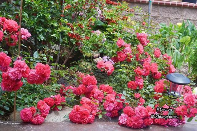 Mẹ chồng chị rất yêu hoa hồng nên chị trồng hoa hồng trước cửa phòng mẹ.