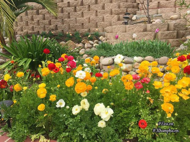 Hoa hợp khí hậu, mỗi năm đến mùa sẽ tự lên lại, và mọc lan ra nhiều. Miền Nam California rất hợp với hoa rum (Calla Lily), huệ tứ diện, hoa mao lương. Riêng hoa cúc mỗi năm ra 2 đợt là mùa xuân và mùa thu.
