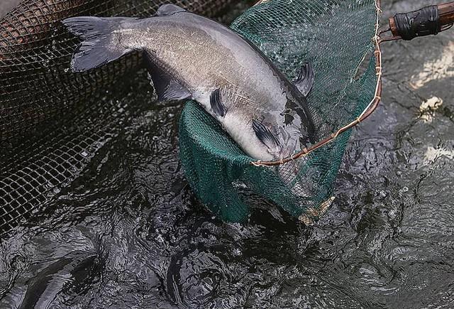 Ông Lưu Văn Hạnh cho biết, cá lăng gần một năm tuổi có thể nặng từ 3,5kg đến 4kg.