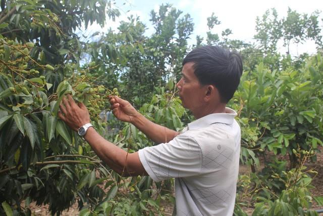 Các loại giống vải thiều được ông Đô trồng thử nghiệm và cho hiệu quả cao