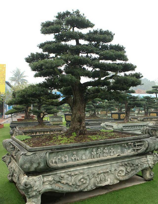 """Cây tùng la hán (tùng Việt Nam) có tuổi đời rất cao. Cây tùng này được các nghệ nhân xây dựng nên thành một tác phẩm nghệ thuật với tên gọi """"đại thế vân tùng"""""""