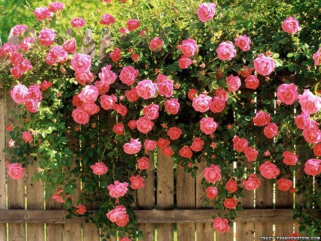 Kết quả hình ảnh cho vướn hoa hồng