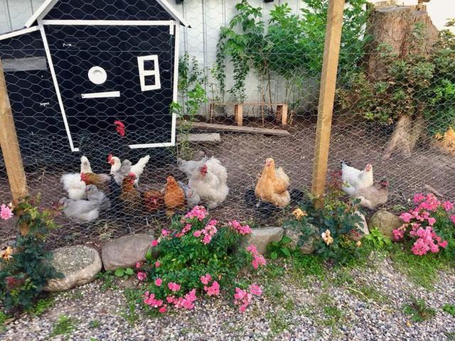 Chuồng gà được đặt bên cạnh vườn rau
