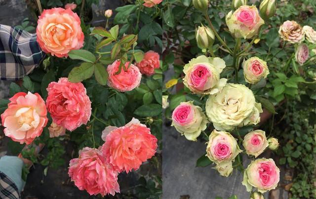 Sau khi mua hơn chục gốc hồng về trồng chơi trong vườn nhà, anh Đoàn đã gây dựng được vườn hồng rộng cả 1.000 m2 với khoảng 80 giống hoa các loại