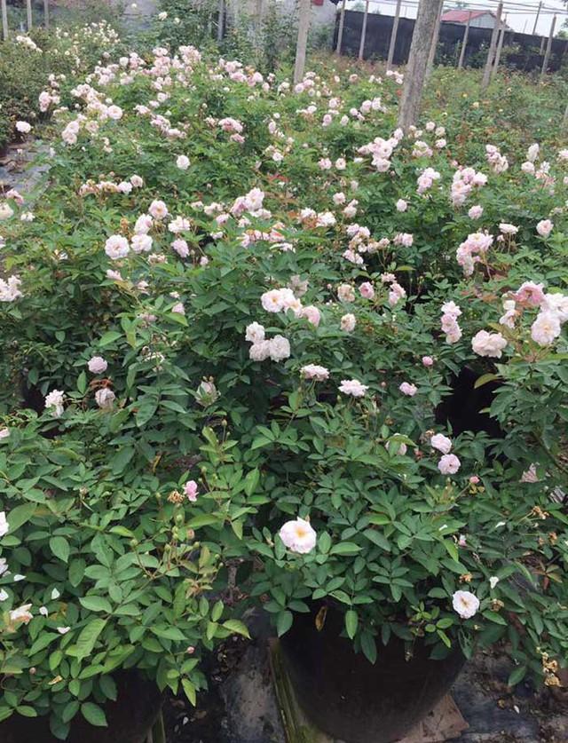 Từ vườn hồng ngập sắc hoa, mỗi tháng anh bán khoảng 1.000 gốc hoa các loại