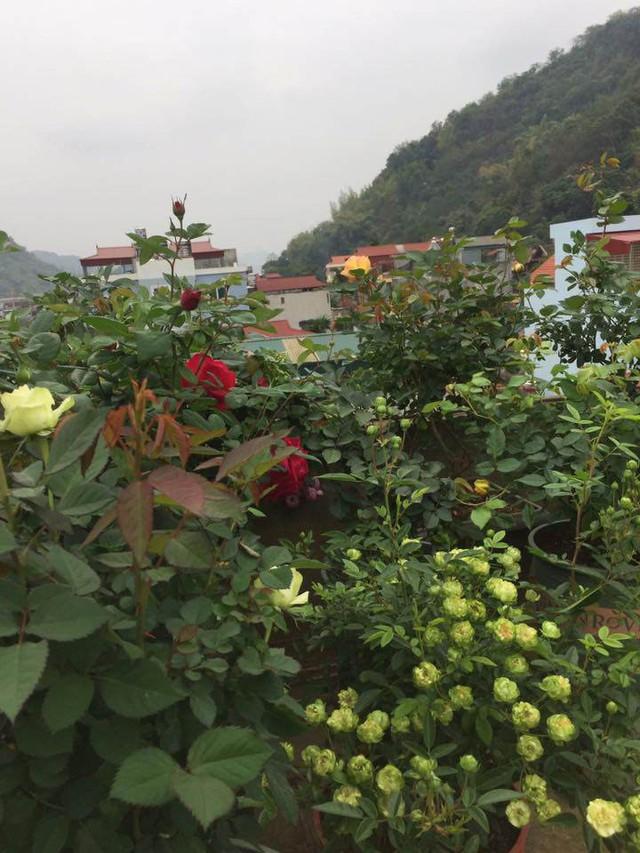 Bụi hoa hồng xanh rất sai hoa của bạn T.N.