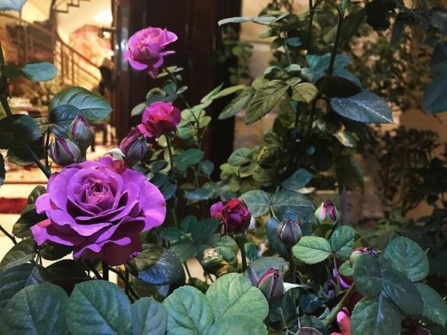Chị Mai Linh mơ ước khi về già sẽ có tiền mua một mảnh đất rộng hơn để trồng kín hoa hồng, coi đó là một thú vui tuổi xế chiều.