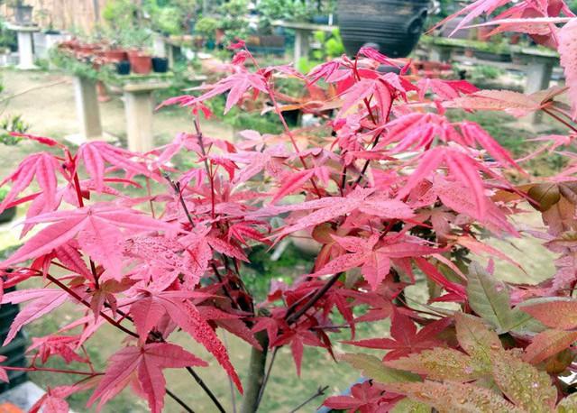 Cây phong nhập từ Nhật Bản về trồng tại Việt Nam.