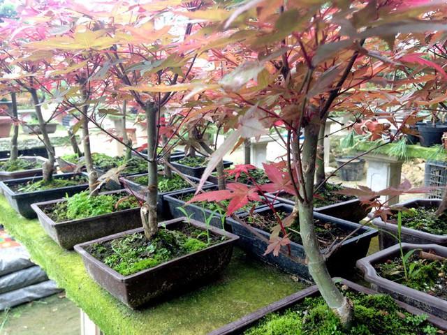 Phong có thể trồng trong chậu hoặc trồng ngoài sân vườn.
