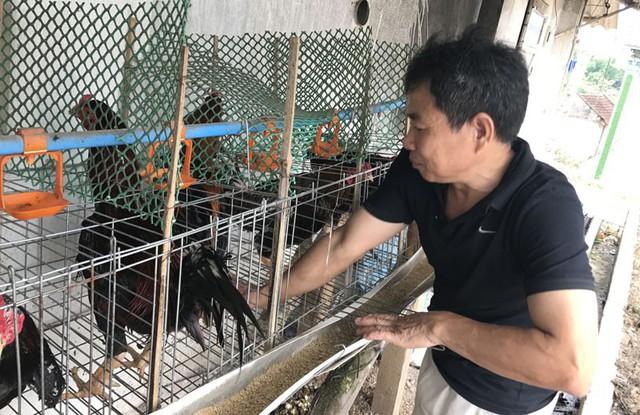 Từ 4 giờ chiều hàng ngày, gà trống bố sẽ được bắt ra lấy tinh trùng thụ tinh nhân tạo cho gà mái đẻ