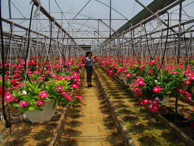 Các chậu hoa treo dạ yến thảo ở vườn anh Quốc chuẩn bị xuất bán. Ảnh: Trần Hậu