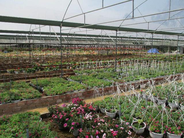 Các chủng loại hoa dạ yến thảo được sắp xếp bắt mắt. Ảnh: Hoa Nhi