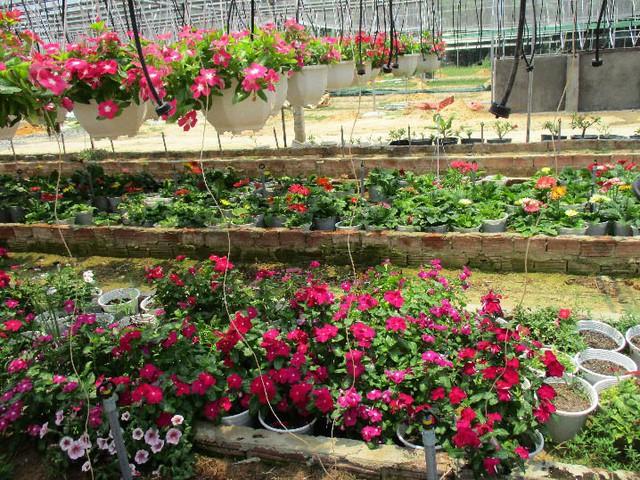 Vườn hoa treo dạ yến thảo của anh Trần Dũng Quốc với đủ các sắc màu. Ảnh: Hoa Nhi