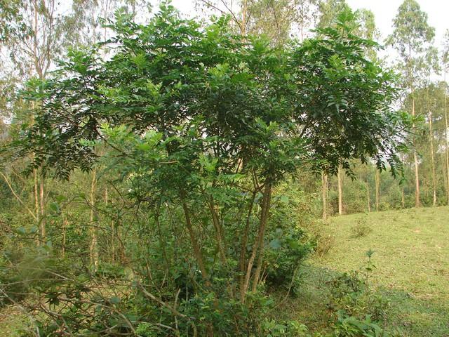 Cây Ưng bất bạc (Zanthoxylum avicennae)