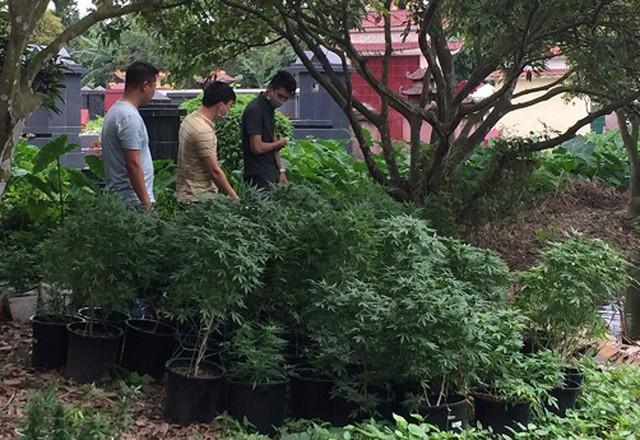 Hơn 800 cây thảo mộc nghi cần sa được cựu sinh viên trường Bách Khoa trồng tại nhà riêng. Ảnh: Cơ quan công an cung cấp