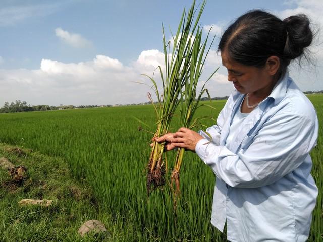 Bà Lê Thị Lý Cầm Cây Lúa Lạ Để Phân Biệt Với Lúa Thường. Ảnh