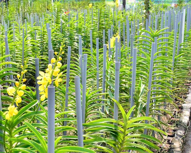 Hiện vườn lan của vợ chồng bà Phỉ là địa chỉ cung cấp lan cắt cành quen thuộc của nhiều cửa hàng hoa tươi tại TP.Rạch Giá, cũng là nơi cung ứng cây giống, giá thể, chậu, phân bón, thuốc trị bệnh cho lan. (Ảnh: NQ).