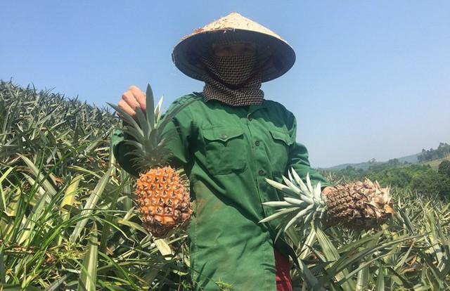 Các hộ trồng dứa ở Thanh Hoá đang bán dứa với giá 2.000 đồng/kg