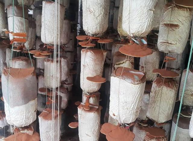 Trại nấm thần dược mỗi năm cho thu nhập hàng trăm triệu đồng của gia đình anh Kiên.