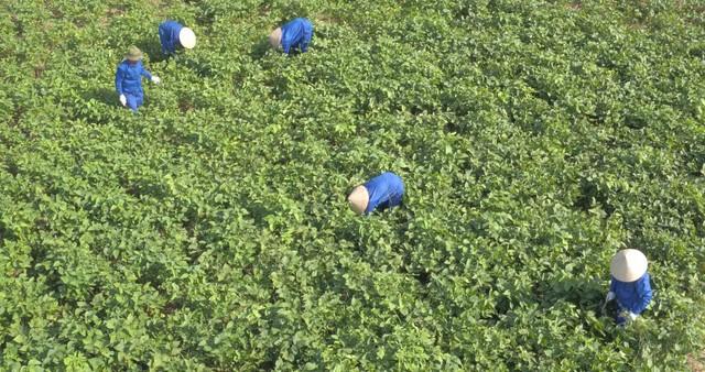 Vùng trồng đậu nành dược liệu của Bảo Xuân tại xã Thành Lợi - Vụ Bản - Nam Định