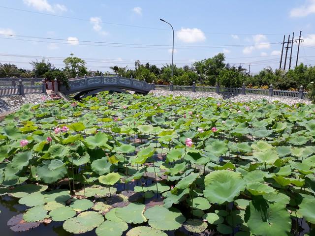 Hồ sen trong khu sinh thái BVĐK huyện Hải Hậu.