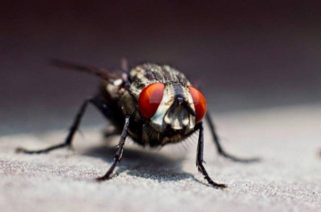 Bạn có biết rằng những con ruồi đó mang trên mình hơn 200 loại vi khuẩn khác nhau sau những lần chúng nghỉ chân trên bãi rác, thức ăn thối rửa, và thậm chí là… phân? (Ảnh: newsner)