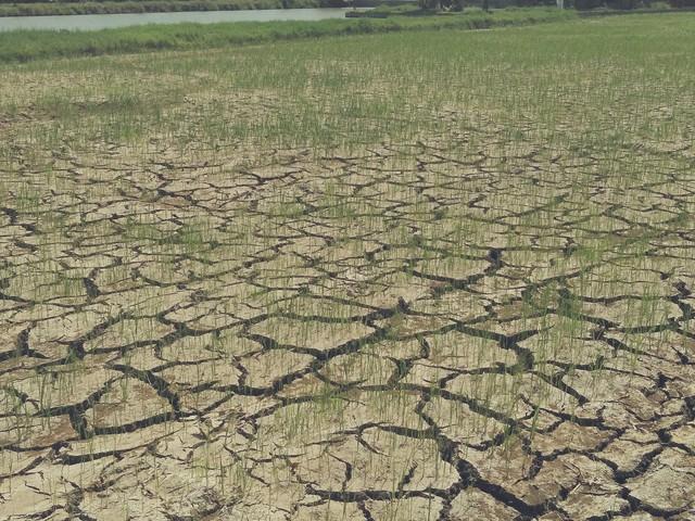 Hàng trăm thửa ruộng đã khô khốc như thế này.     Ảnh: PV
