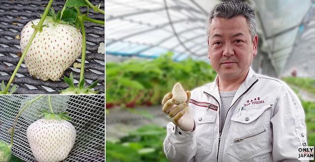Ông Teshima và những trái dâu bạch ngọc độc nhất vô nhị trên thế giới