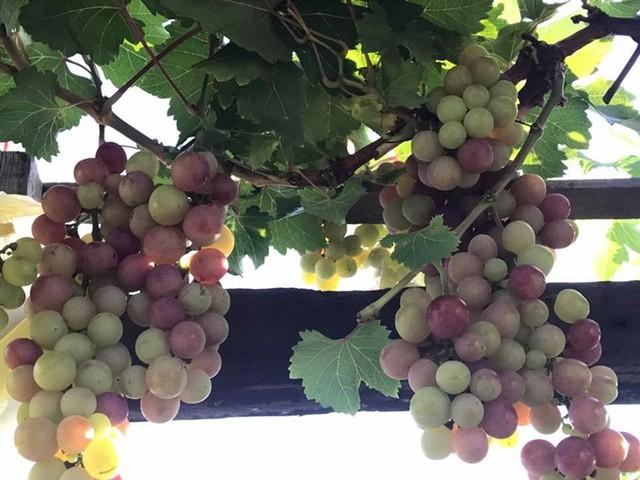 Khu vườn nhà chị Minh Tuyết ở Nhà Bè, TP HCM giống như một vựa trái cây bởi quả gì cũng có. Trên sân thượng rộng 68 m2, chị trồng đủ loại cây ăn trái trong 20 chiếc chậu sành.