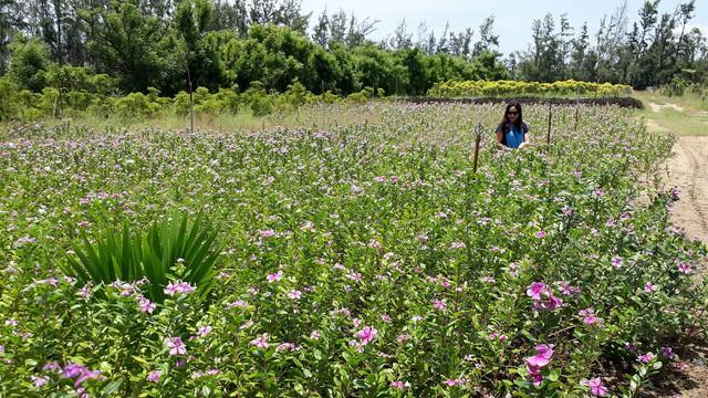 Du khách có cơ hội check in bên những cánh đồng hoa dược liệu tại Trung tâm Nghiên cứu và sản xuất dược liệu miền Trung