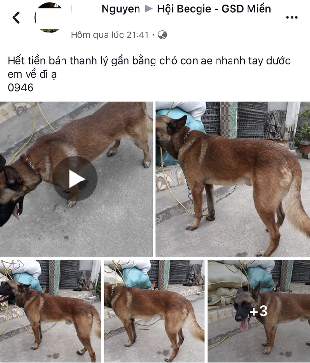 Thanh lý chó trên các cộng đồng yêu chó vì cần tiền gấp